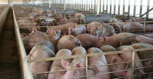 hogs in Iowa finishing barn_DarcyMaulsby_iStock_Thinkstock-503663708
