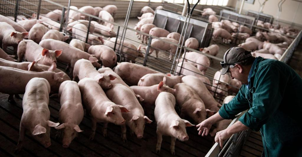 HogsInBarn-AFP-Getty Images-1197632588-800_0