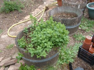 Spearmint mother plant