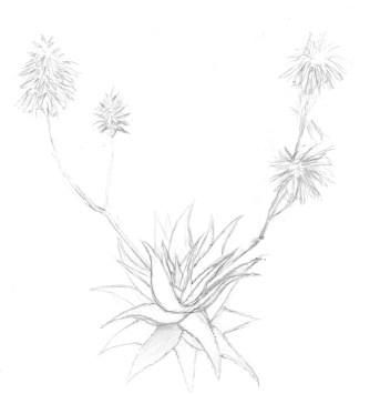 Aloe Vera (apunt | apunte | sketch)
