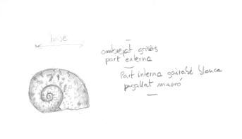 Cargol marí | Caracol de mar | Marine snail