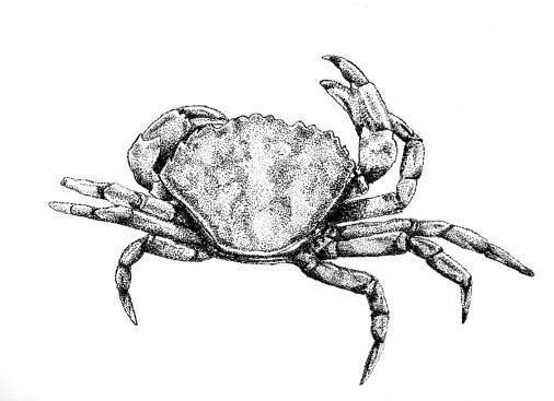 Cranc | Cangrejo | Crab