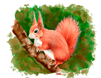 Aquarel·la d'Esquirol | Acuarela de Ardilla | Squirrel. Watercolour (Sciurus vulgaris)