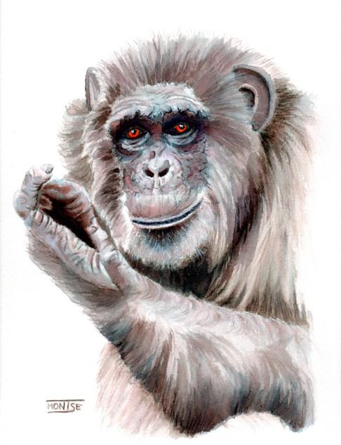 Tico (ximpanzé | chimpancé | chimpanzee)