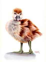il·lustració de pollet d'Oca del Canadà. | ilustración de Ganso del Canadá juvenil. | Canada Goose illustration (juvenile).