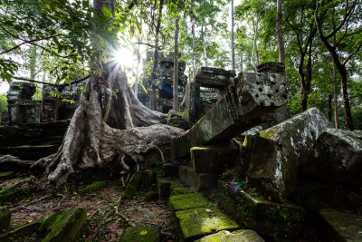 Fromager poussant sur les ruines d'Angkor