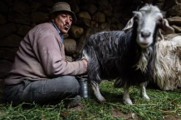 Chèvre de l'Himalaya