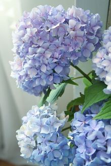 We all have a favourite flower, mine is a lilac hydrangea. These flowers have such a plush mop head, wether in the garden or in a vase they will brighten up your day. www.oderings.co.nz
