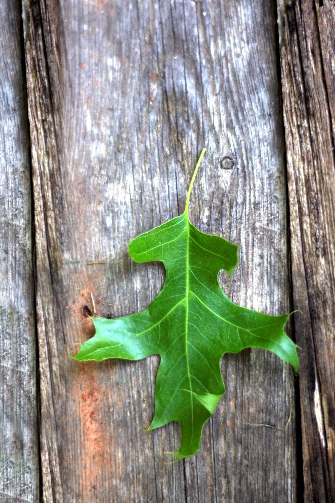 green oak leaf on wood