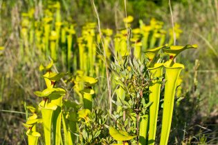 North American Pitcher Plant