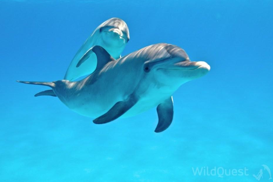 Bimini dolphins photo by Atmo,www.wildquest.com