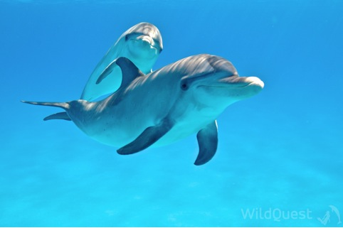 Wild Atlantic dolphins photo by Atmo, Bimini, http://www.WildQuest.com