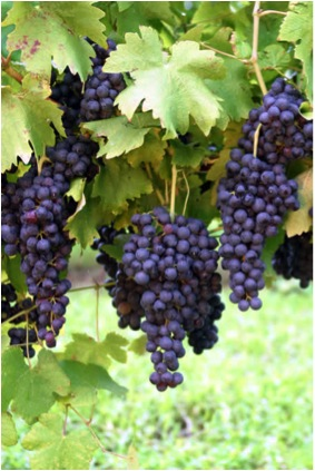GRAPES ON VINE PURPLE