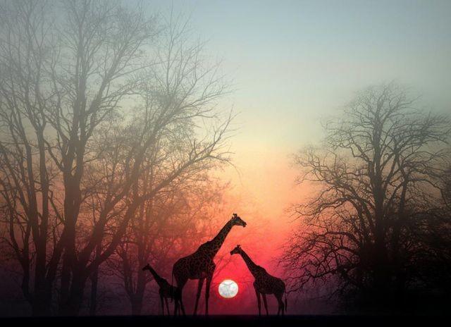 Giraffes at dusk