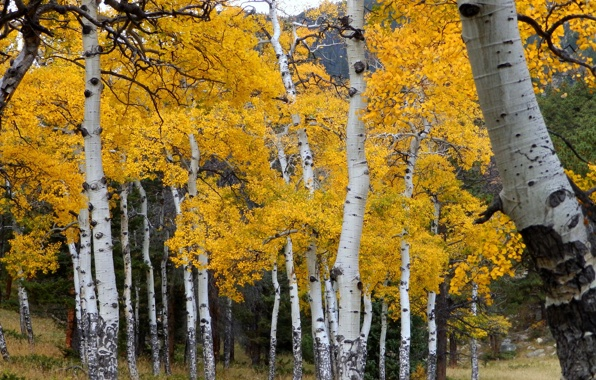 Colorado aspen trees, Photo by vitya_maly