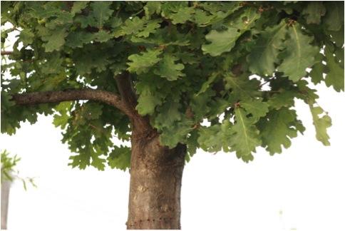 OAK TREE GREEN LEAVES