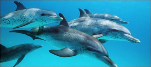 DOLPHINS SPOTTED BIMINI