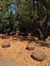 Trio of Walnuts in Davis, CA