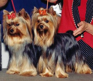 Moonlight Yorkies – Yorkies and Russian Toy Terriers