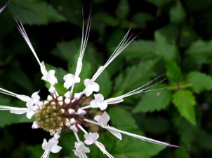 Misai kucing or Cats Whiskers, a medicinal plant