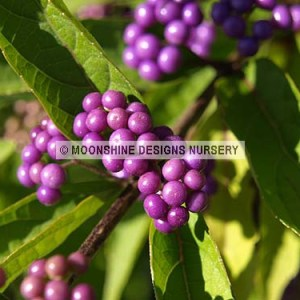 Beautyberry, Early Amethyst (Callicarpa)