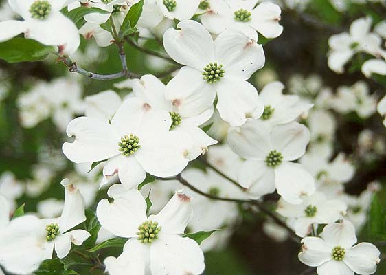 Dogwood, White Flowering