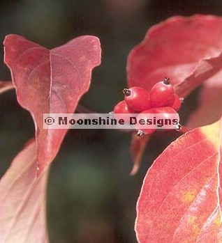 Dogwood, Pink (Tree) Seed