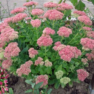 Sedum, Autumn Joy Plug Flat