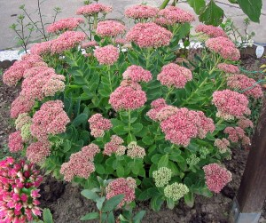autumn-joy-sedum