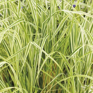 Grass, Feather Reed, Overdam Liners