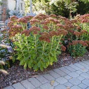 Sedum, Autumn Fire Plug Flat
