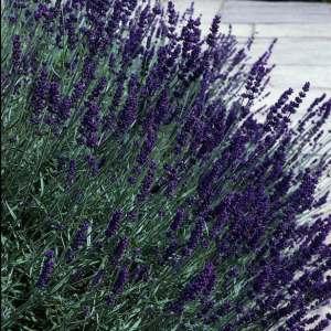 Lavender, Hidcote Superior Plug Flat