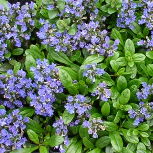 Ajuga, Mint Chip Plug Flat