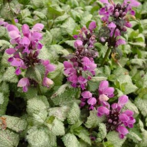 Lamium, Red Nancy Plug Flat