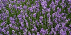 Wholesale Lavender Plugs