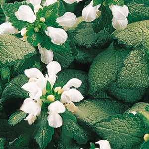 Lamium, White Nancy Plug Flat