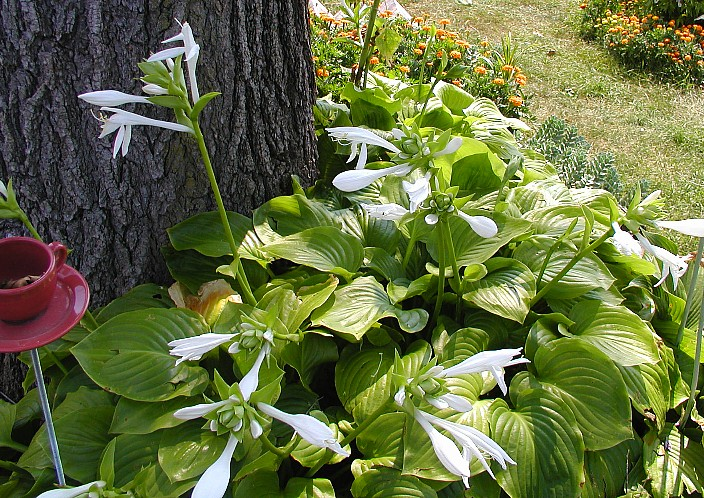 Hosta, August Lily