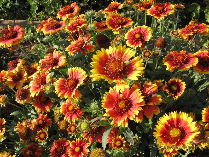 Gaillardia Arizona Sun Blanket Flower Moonshine
