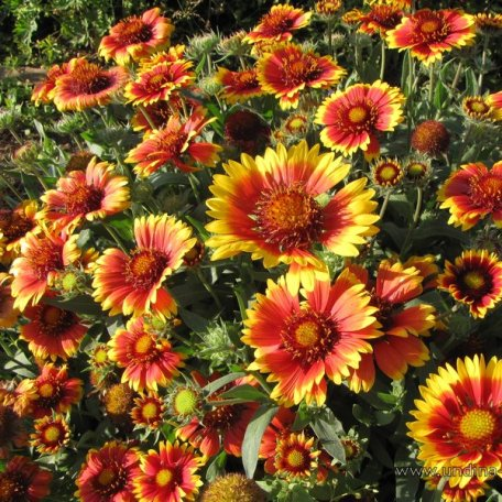 Gaillardia arizona sun blanket flower plug flat moonshine gaillardia arizona sun blanket flower plug flat moonshine designs nursery mightylinksfo