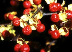 American Bittersweet, Sexed Plants