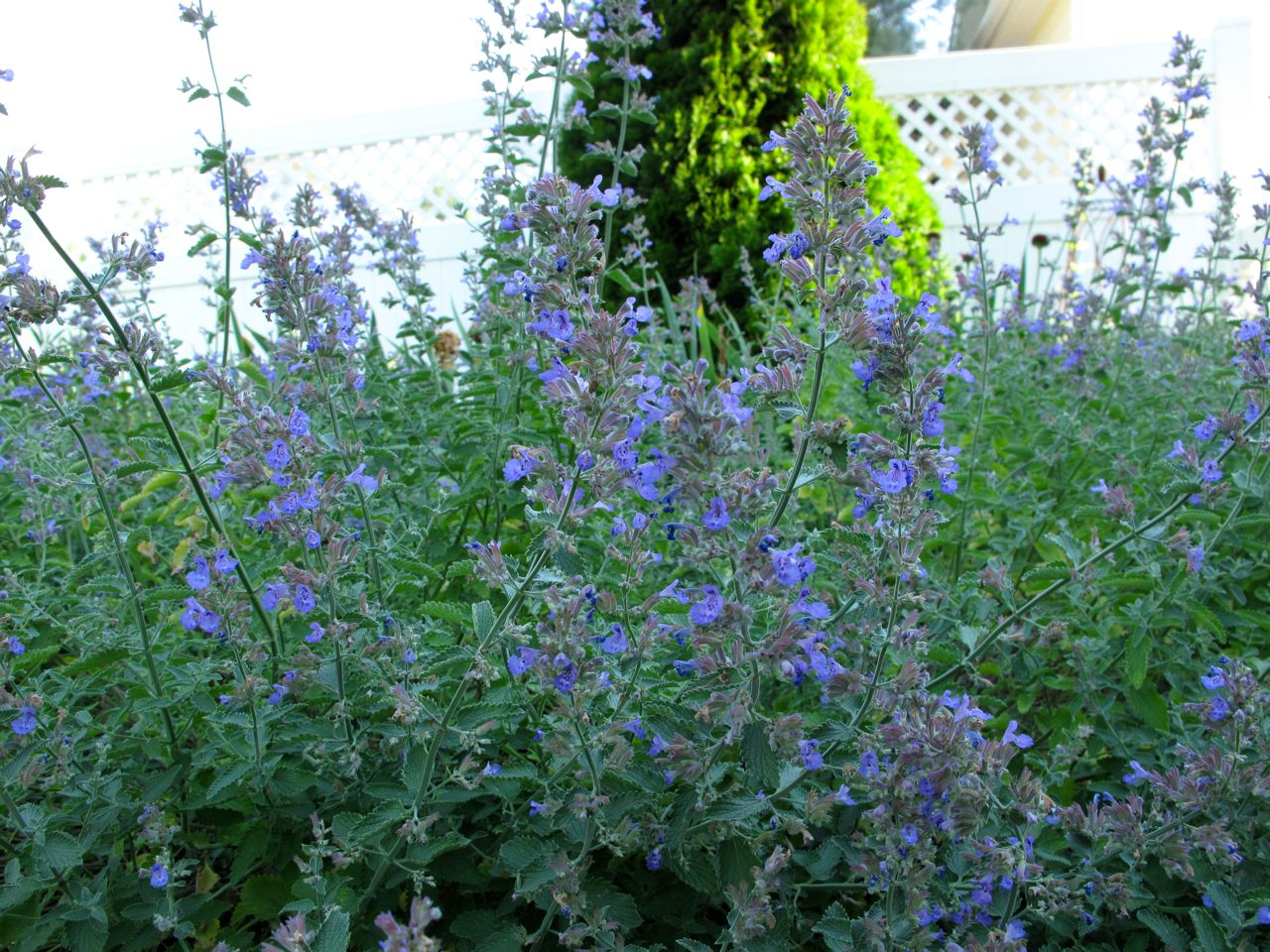 Catmint, Walker's Low