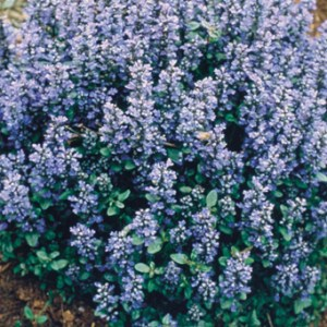 Ajuga, Chocolate Chip