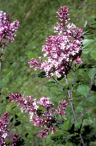 Lilac, Josee- Rebloomer!