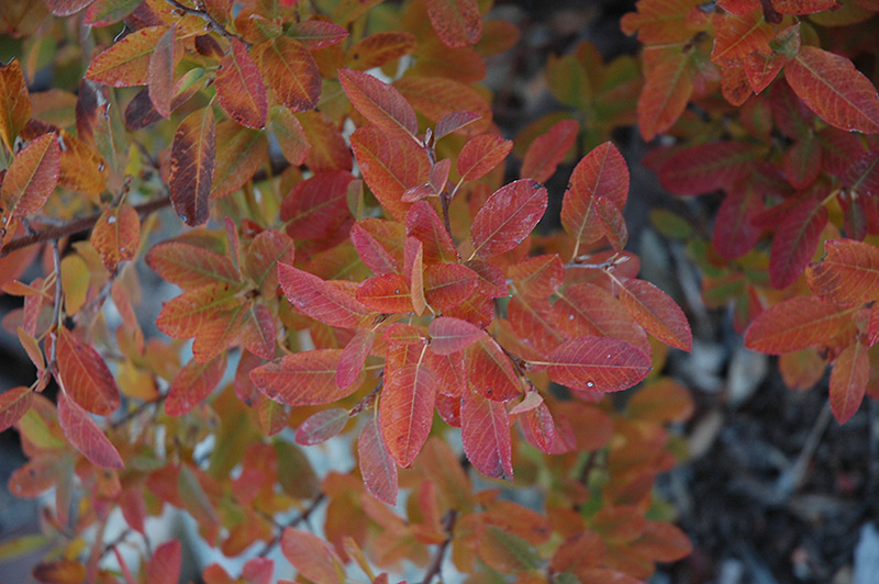 Serviceberry, Rainbow Pillar®