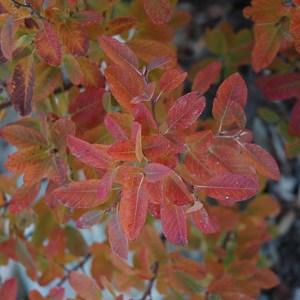 Serviceberry, Rainbow Pillar®
