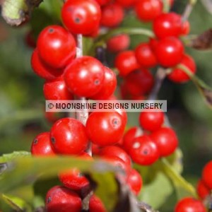 Holly, Winterberry, Sprite