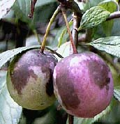 Plum, American (NATIVE)