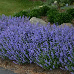 Catmint, 'Purrsian Blue' PP24788