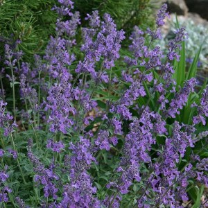 Catmint, Little Trudy®