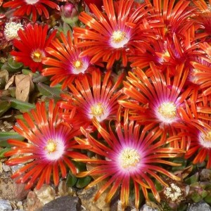 Delosperma, (Ice Plant) Red Mountain Flame